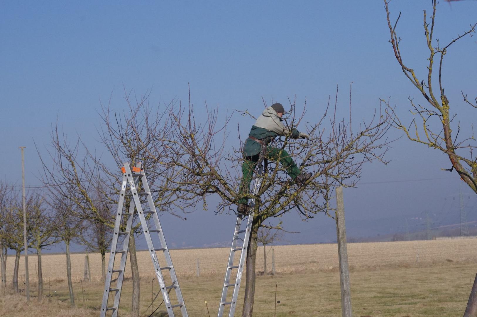 beskæring af frugttræer